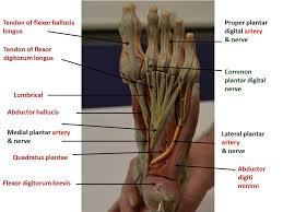 Foot Anatomy Nerves Foot Yeditepe Anatomy Lab