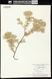 online virtual flora of wisconsin abies balsamea