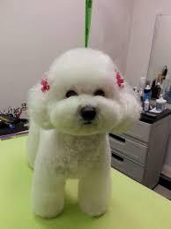 haircutsfordogs poodlemix 23924df9fcb568fcec6336315284c262 jpg 720 960 pixels pets