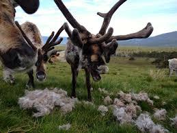 moulting u2013 cairngorm reindeer