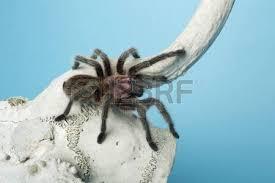 hairy tarantula spider crawling on animal u0027s skull stock photo