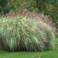 miscanthus variegatus ornamental grass hedge plant variegated deer