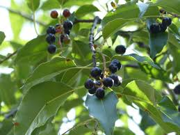 planting native trees experts recommend these six native trees to plant in the midwest