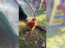 australian shepherd zu verschenken 2 junge zwergseidenhähne zu verschenken schellhorn seidenhuhn