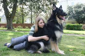 belgian shepherd single coat shiloh shepherd characteristics appearance and pictures