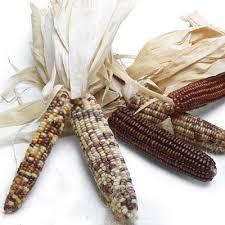 indian corn ornamental