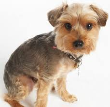 like this for a summer cut top 3 hairstyles for the yorkie poodle