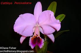 cattleya orchids cattleya percivaliana care sheet orchid nature