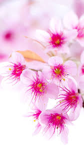 Cherry Blossom Facts by Wallpapers Iphone Group 60