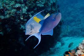 arabian angelfish pomacanthus maculosus u0026 redtooth triggerfish
