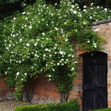 Fragrant Climbing Plant - mme alfred carrière most fragrant climbing roses fragrant