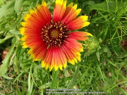 blanket flowers plant care and collection of varieties garden org