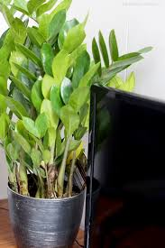Indoor Plants Low Light by 5 Easy To Grow Low Light House Plants To Add A Bohemian Vibe To