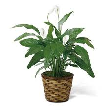 peace plant indoor plant peace plant cathy cowgill flowers