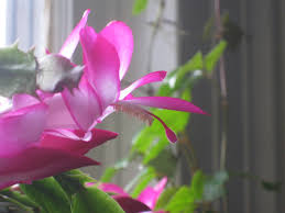how often does thanksgiving fall on november 27 november brilliance the u201cthanksgiving u201d cactus schlumbergera