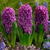 Hyacinth Flower Hyacinth Flower Bulbs Hyacinthus Orientalis High Country Gardens