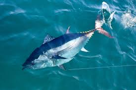 cape cod bluefin tuna fishing charters with reel deal fishing charters