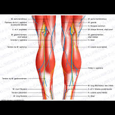 Nerves In The Knee Anatomy Knee Leg Posterior View Superficial Muscles Blood Vessels