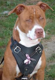 colby american pitbull terrier dog body harness for pitbull best leather dog harness h1 1072