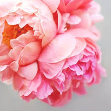 where to buy peonies pin by on memories of my grandmother s garden