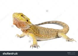 bearded dragon clipart pencil color bearded dragon clipart