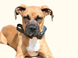 boxer dog 2015 diary there is no reason to use a shock collar in fact it should be