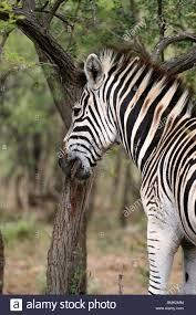 zebra tree bark at hluhluwe umfolozi reserve zululand