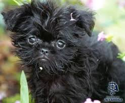 affenpinscher terrier mix affenpinscher complete breed information and photos