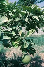 citrus patio trees