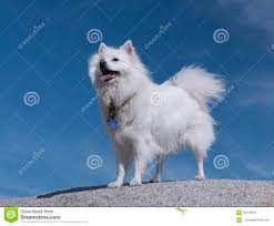 american eskimo dog male american eskimo dog stock photos images u0026 pictures 82 images
