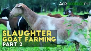 slaughter goat farming part 2 how to manage slaughter goat farm