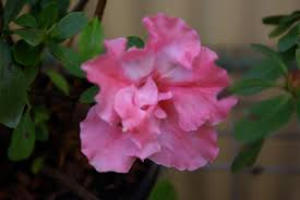 native plant nursery perth pioneer gardens nursery specialising in frangipanis azaleas and