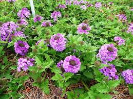 native louisiana plants homestead purple verbena is a louisiana super plant lsu agcenter