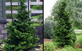 buy slender hinoki cypress for sale from wilson bros gardens