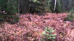 6 month old bluetick coonhound weight deer hunting with hounds blue tick coon hound starting the drive