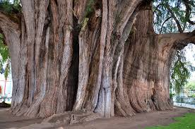 raymond behm the largest tree in the world