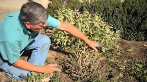 how to prune overgrown ornamental shrubs how to care for shrubs