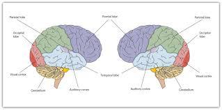human brain function of frontal lobe human anatomy charts