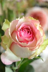 309 best a rose for you images on pinterest flowers pink roses