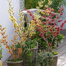how to grow witch hazel in a container flowering winter plants
