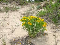 native plants of michigan plants michigan sea grant