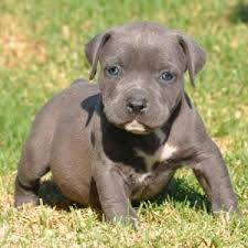 american pitbull terrier puppies for adoption dogs free classified ads