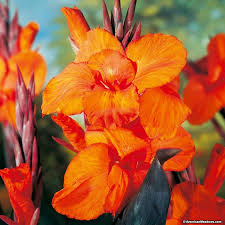 Canna Lily Wyoming Canna Lily Canna Indica American Meadows