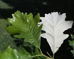 iowa native plants 68 best trees images on pinterest garden trees gardens and plants