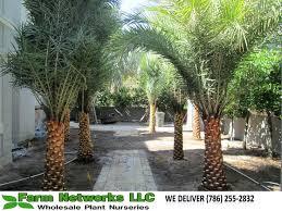 sylvester palm tree prices sylvester palm trees nursery south florida sylvester palm trees