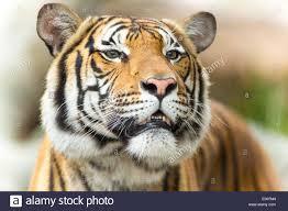 tiger face stock photos u0026 tiger face stock images alamy