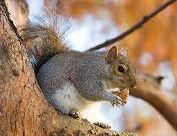 How To Hunt Squirrels In Your Backyard by Squirrel Hunting With An Air Rifle Thebestairrifle Com