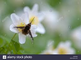 large bee fly bombylius major a bee mimic with long proboscis