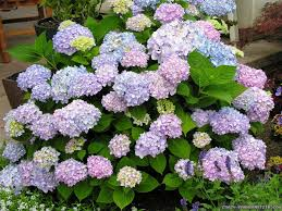 hydrangea flower wallpapers crazy frankenstein