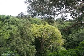 canopy amazon rainforest canopy as seen at eye level